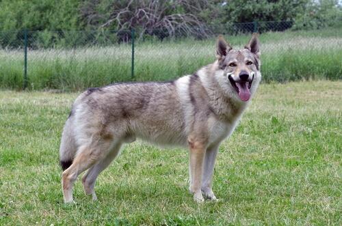Características del lobo checoslovaco