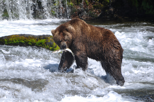 Oso grizzly comiendo salmón
