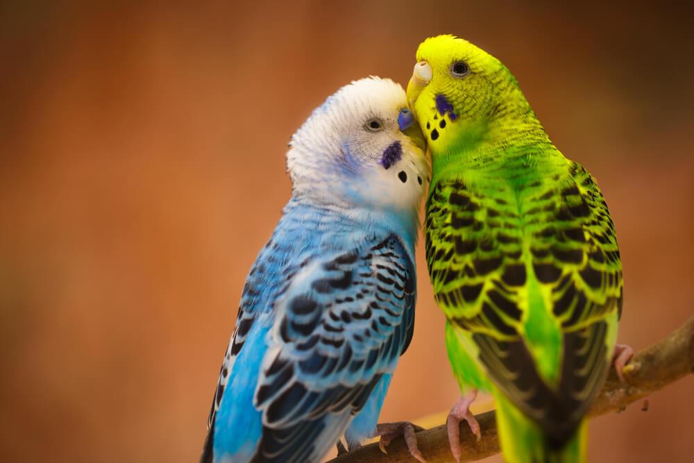 Los periquitos: pájaros fieles a su pareja