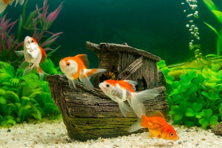 Cómo saber si un pez está sano