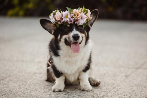 Perfumes para perros: ventajas y desventajas