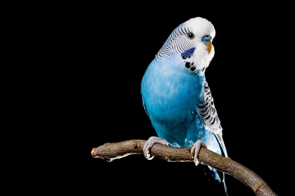 Periquito azul.