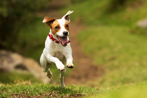 Perro da un salto mientras corre