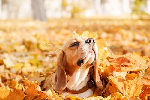 Tu perro disfruta de los juegos con las hojas de otoño