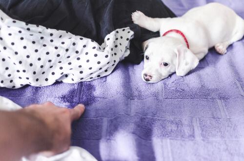 Perro se hace pis en mi cama