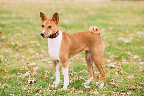Perros que no causan alergias: basenji