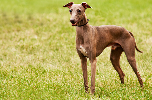 Perros que no causan alergias: galgo italiano