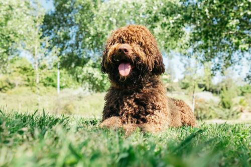 Perros que no causan alergias: perro de agua español