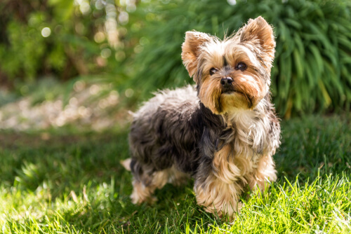 Perros que no causan alergias: yorkshire terrier