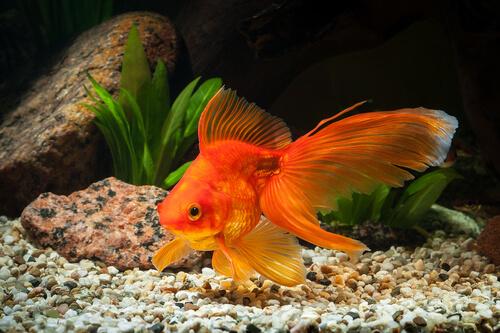 El goldfish es uno de los peces de agua fría.