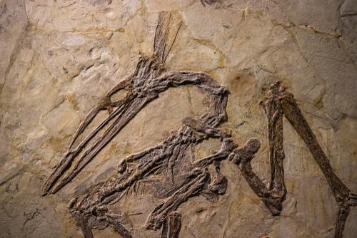 Pterosaurio fósil.