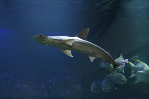 Qué comen los tiburones