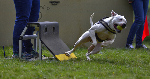 Flyball: 5 consejos para practicarlo con tu mascota