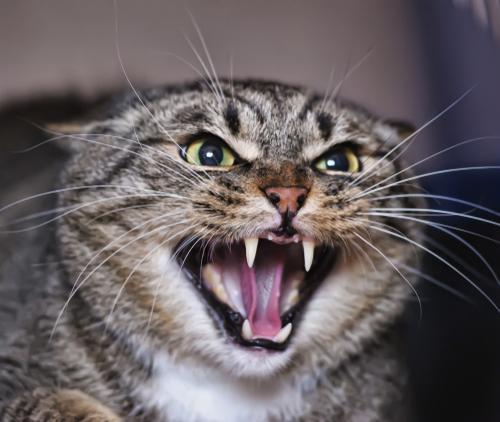 3 признака того, что у вашей кошки кошачье бешенство