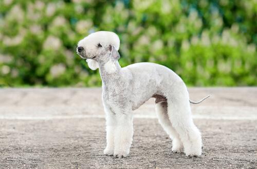 Razas de perros más extrañas: bedlington terrier
