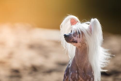 Conoce las razas de perros más extrañas