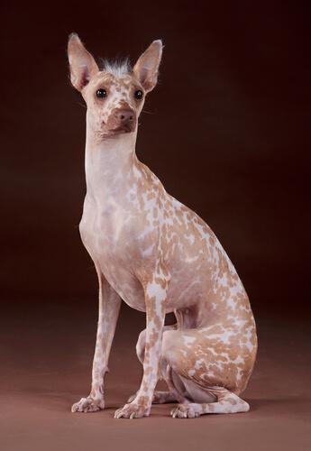 Razas de perros más extrañas: perro peruano