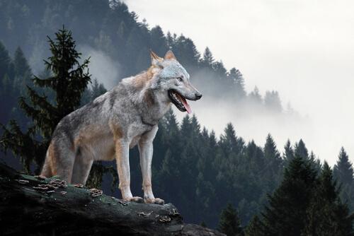 Reintroducción del lobo en Yellowstone