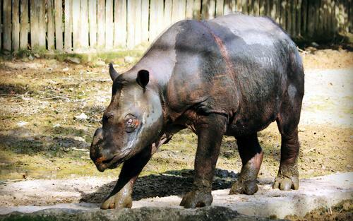 Rinoceronte de Sumatra: cuántos quedan