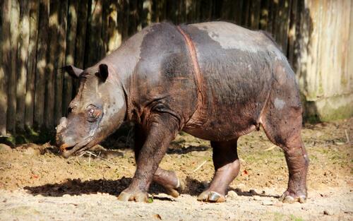 La delicada situación del rinoceronte de Sumatra