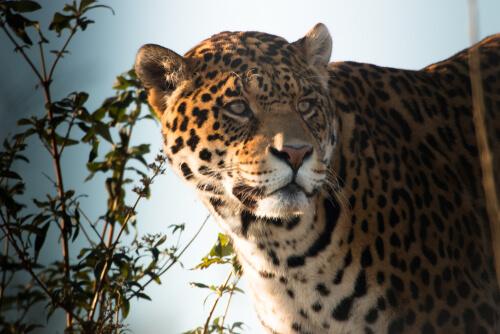 Rostro del jaguar