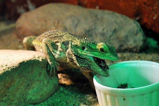 Salamandra comiendo
