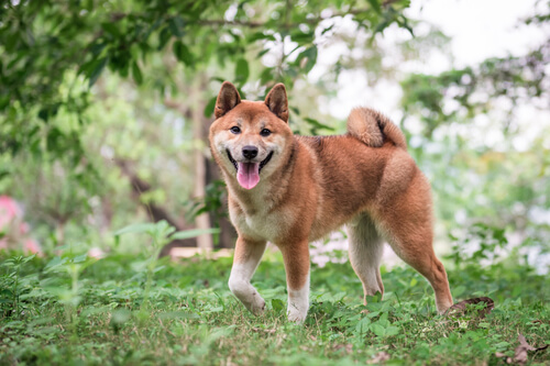 Shiba Inu: cuidados y alimentación