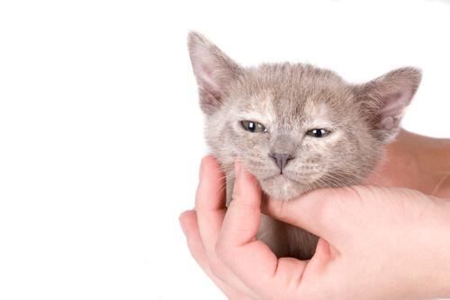 Síndromes epilépticos en felinos