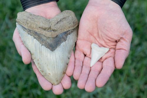 Tamaño del diente del megalodón