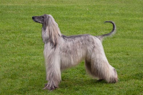 Tasi: el perro afgano