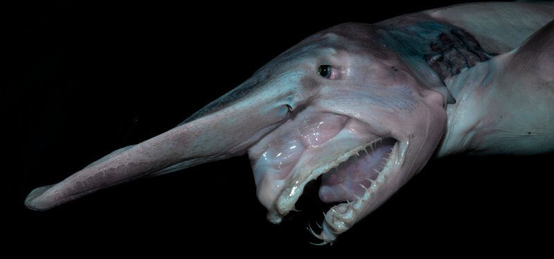 Tiburón duende: hábitat y características