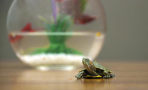 La tortuga es uno de los animales domésticos acuáticos.