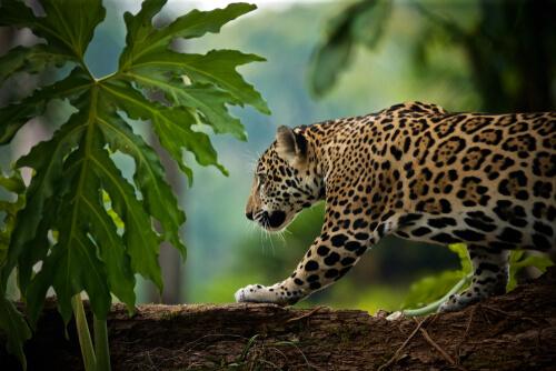 El tráfico de jaguares de los mayas