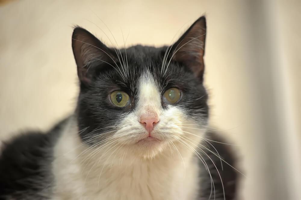 Tratamiento del glaucoma en gatos.