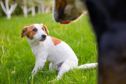 Vendajes para perros pirotecnia