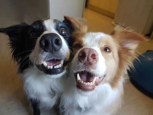 Ventajas de tener dos perros en casa
