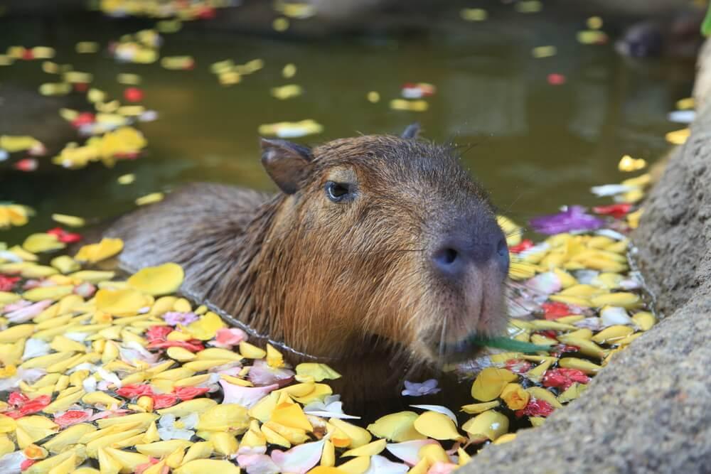 Capibara sumergida en el agua.