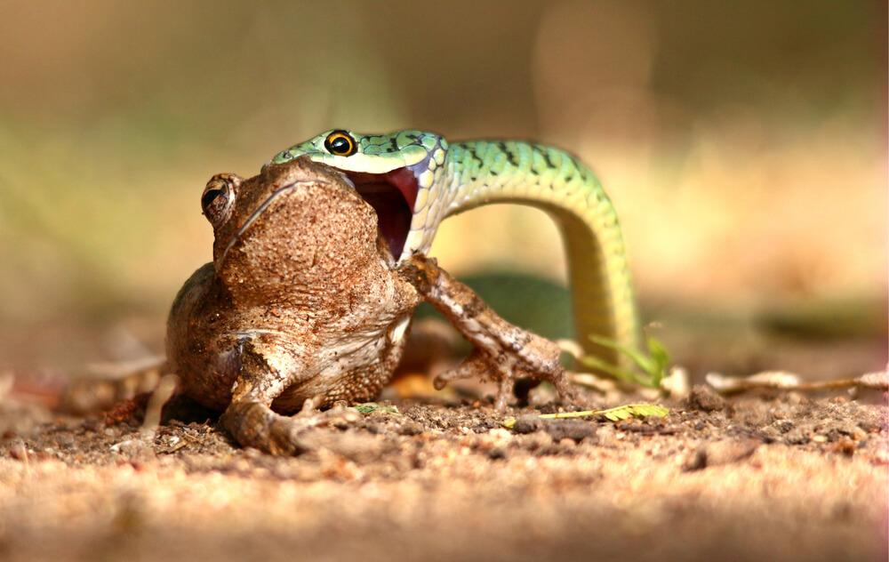 Alimento para una serpiente.