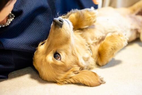 Ascitis en perros: síntomas