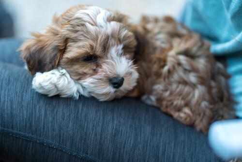 Ascitis en perros: tratamiento