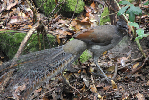 Las sorprendentes habilidades del ave-lira soberbia