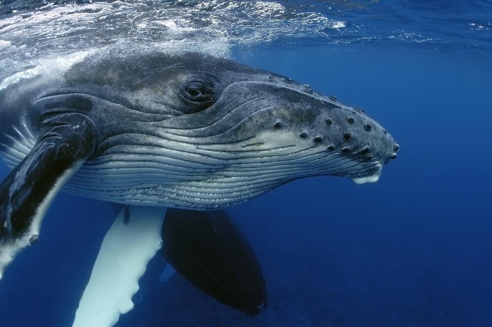 ¿Cómo duermen las ballenas sin ahogarse?