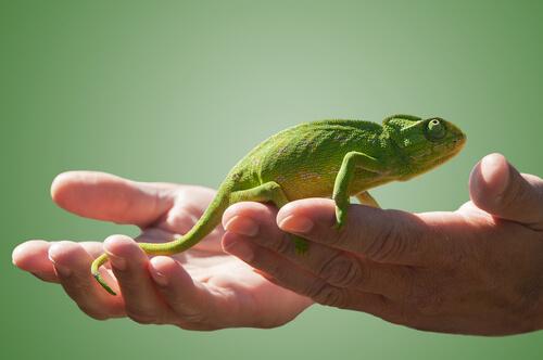 Resultado de imagen de camaleon mascota