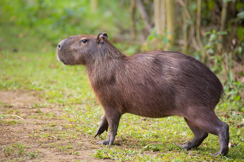 ¿Qué son las capibaras?