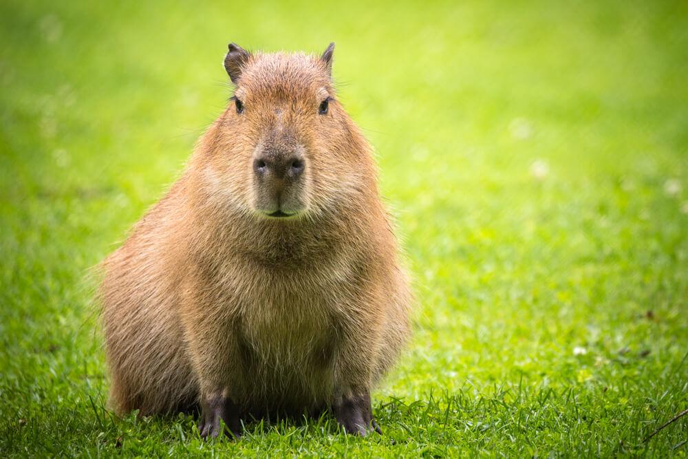 Características de la capibara.