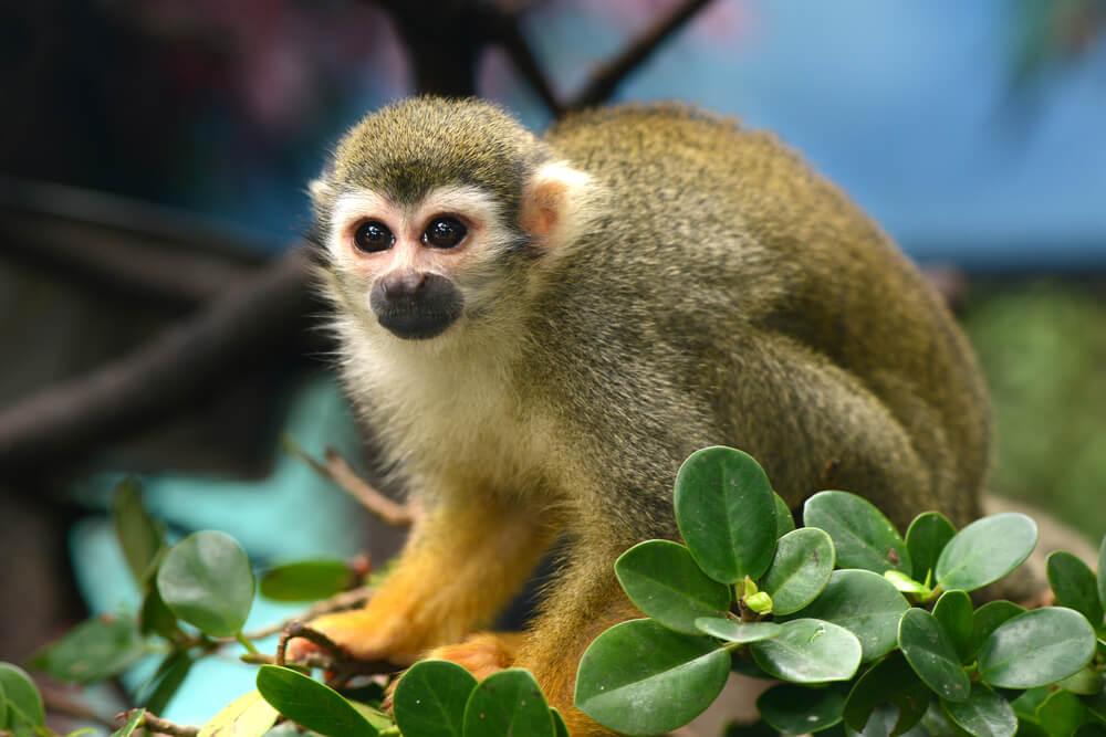 Características del mono ardilla.
