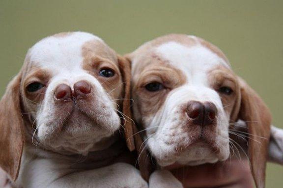 Catalburun: все об этой турецкой породе собак