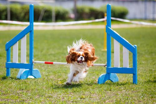 Cavalier King Charles Spaniel: agility