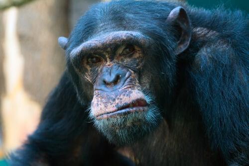 Los chimpancés agresivos viven menos