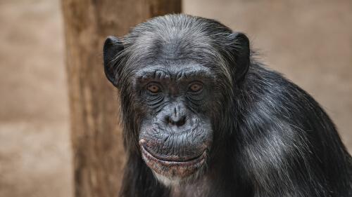 Los chimpancés no son mascotas: conoce a Travis